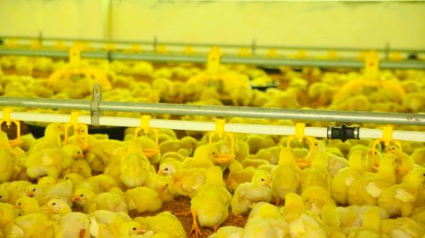 Delmo Chicken - Farms & Breeders